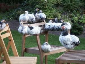 Kippen op stoel